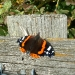red-admiral-in-autumn
