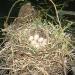 moorhens-nest-eggs