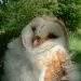 male-barn-owl-chick