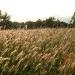 meadow-barley-2