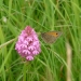 meadow-brown-on-pyramidal-orchid