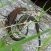 rsz_common_lizards